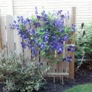 Jackman Clematis and Fence Screen Air Conditioner