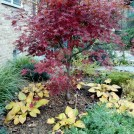 Japanese Maple 'Burgundy Lace'