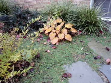Hosta Halcyon in Fall with Blue Star Creeper (Isotoma) and Howell's Dwarf Tigertail Spruce