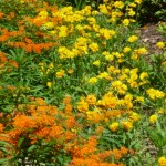 Butterfly Weed aka Milkweed Pairs With Coreopsis