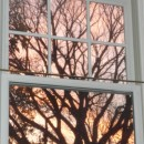 American Elm from inside at Sunrise