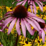 Nativars: Coneflower and Black-Eyed Susans